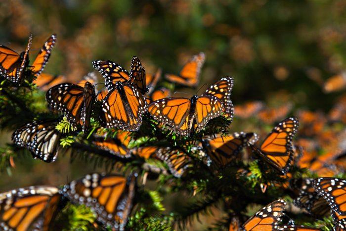 La magia de la naturaleza Migración de las mariposas monarca